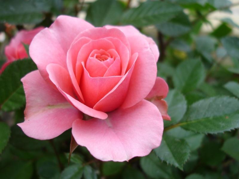 Еще одна красивая розовая роза. Видно ...: roza.3dn.ru