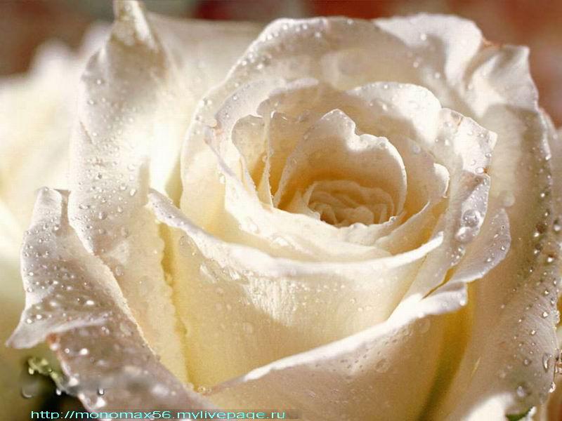 Прелестная желтая роза вся усыпанная