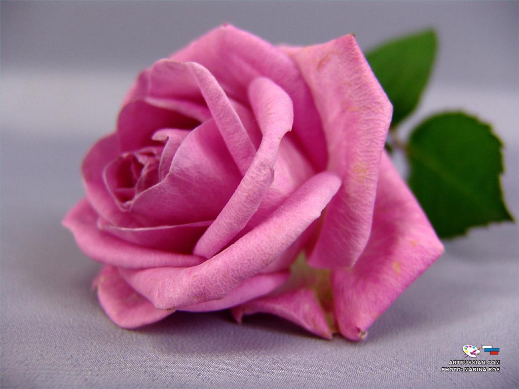 Неплохое фото бордовой розы выглядит